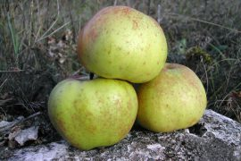 mela renetta