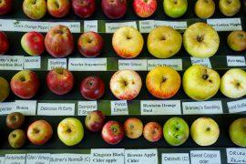 antiche mele americane