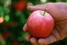 Redapple, la nuova mela rossa. Databile al XIX secolo, lorigine di questo squisito dolce è avvolta nella.